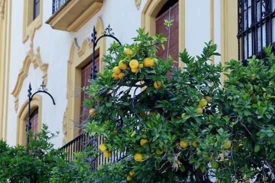 8 Seville oranges (1280x855)