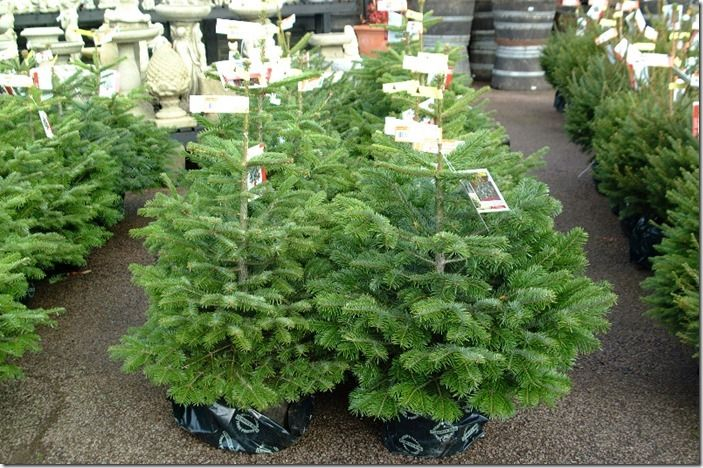 3 potted Christmas Trees