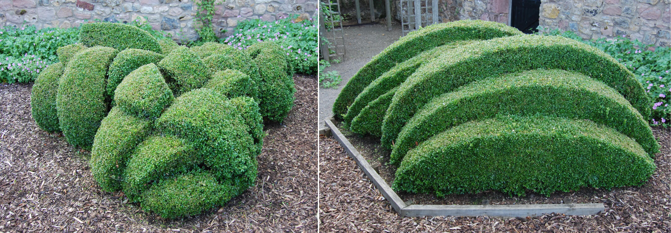 Inventive clipping: box bushes by Head Gardener Vincent Dudley at Whitburgh House, Midlothian, Scotland