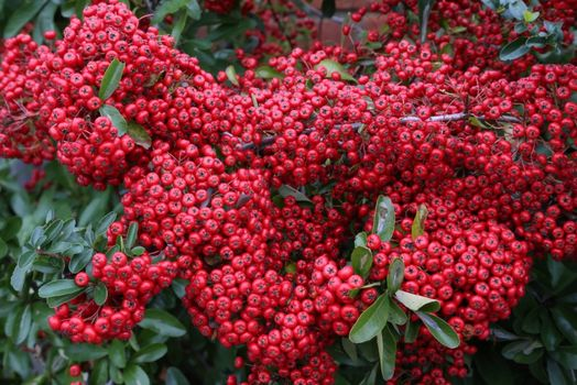 Pyracantha - red
