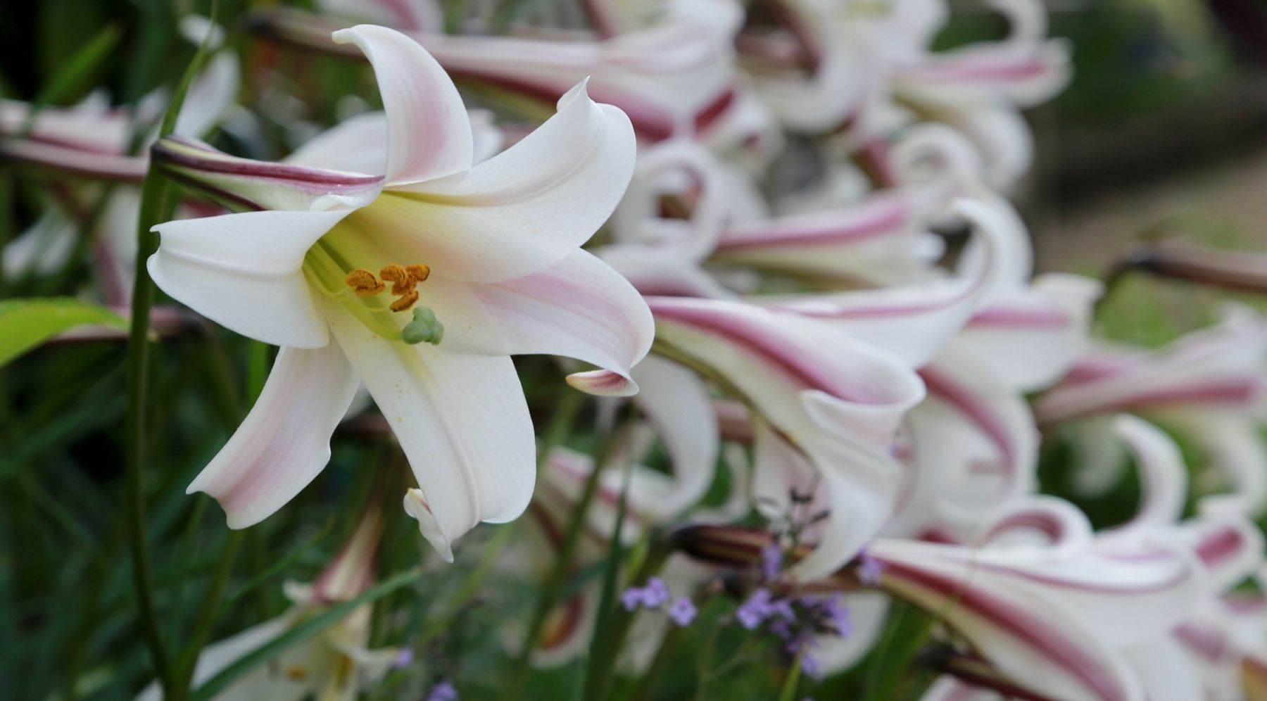 Add Colour With Summer Flowering Bulbs Gardening