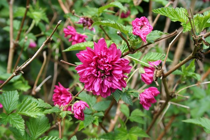 Rubus 'Olympic Double'