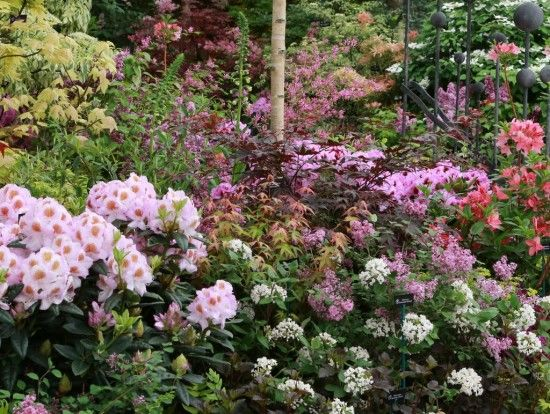 Acer Red Wine with Rhododendron Mrs T H Lowinsky