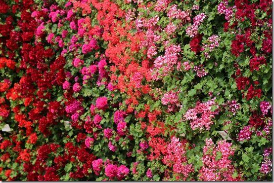 Trailing pelargonium wall