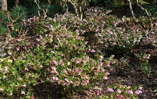5 Hellebores under Hydrangea paniculata
