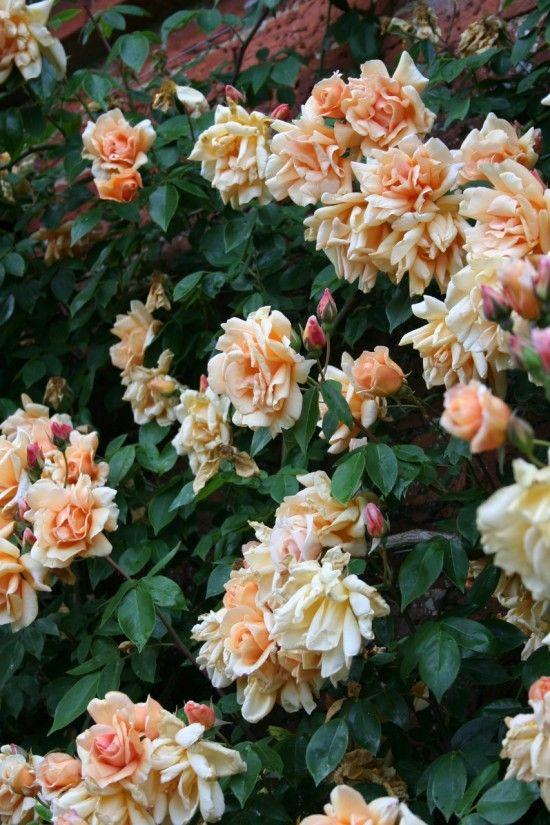 Rosa 'Crespescule'