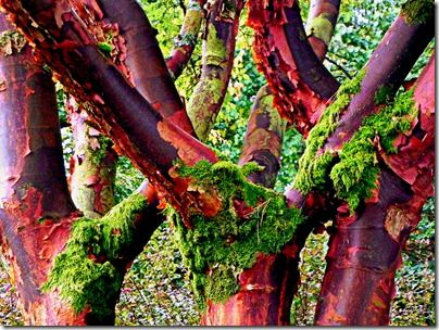 Acer griseum Big