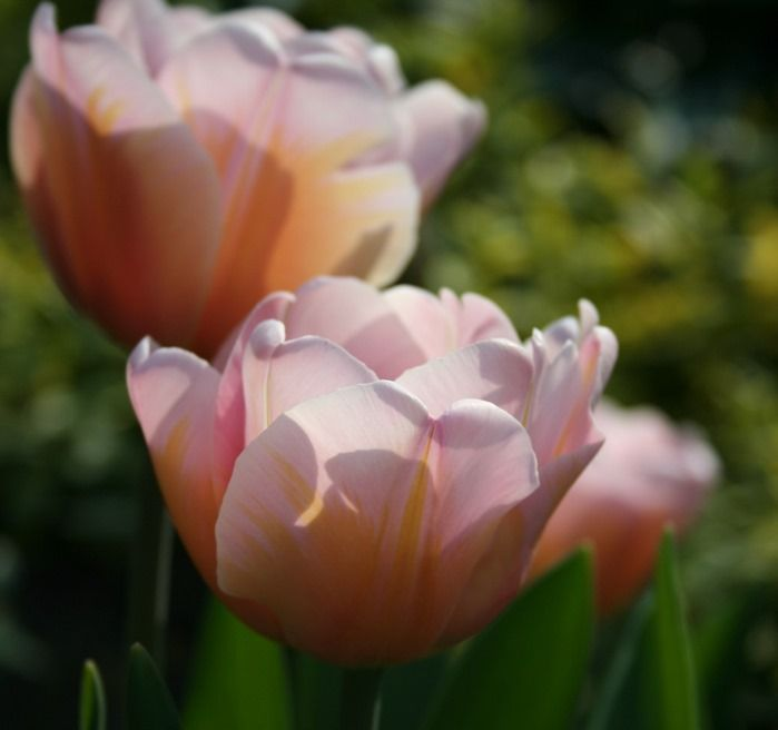 10 Tulipa 'Belle Epoque' (1024x962)