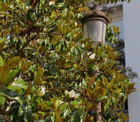 6 Magnolia grandiflora (1280x1114)