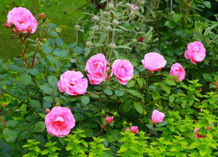 4 Rosa 'Bonica' (1024x738)