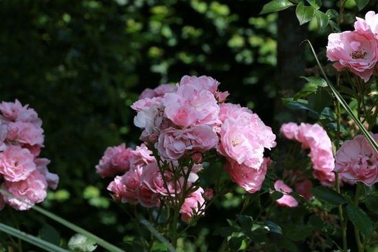 3 Rosa bonica 'Perpetual flowering' (1280x855)