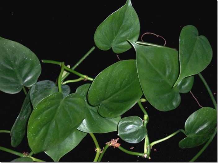 4 Philodendron scandens
