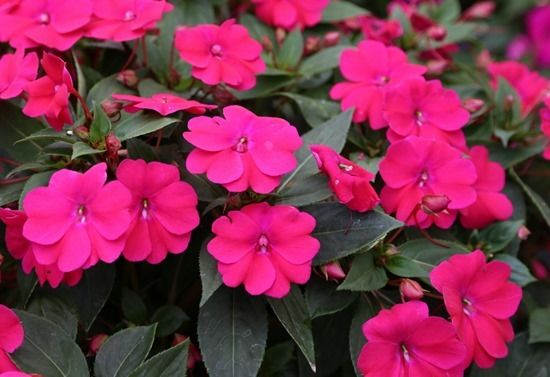 3 Impatiens Big Bounce