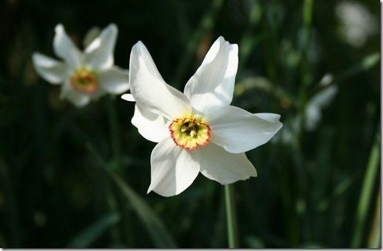 13 Narcissus poeticus