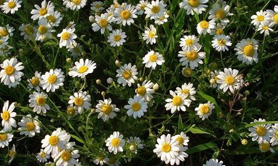 5 Camomile flowers