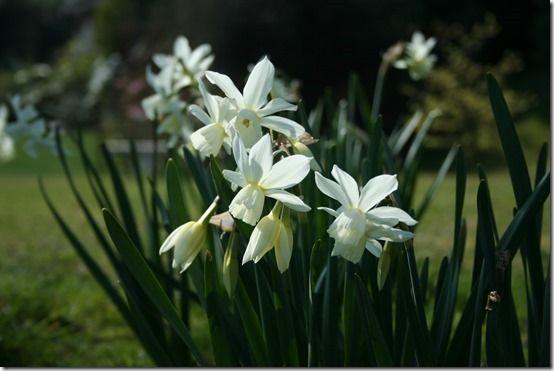 9 Narcissus 'Thalia'