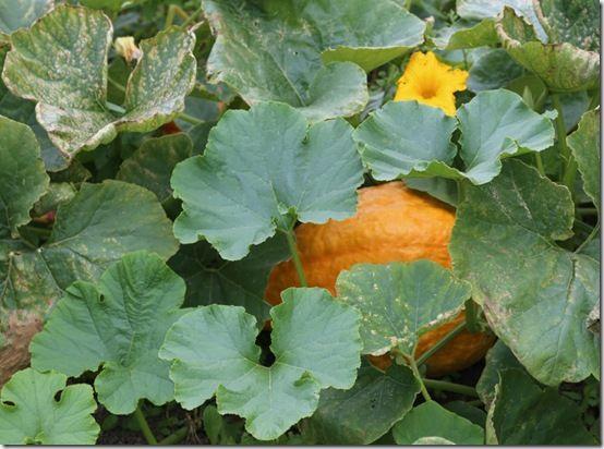 3a Pumpkin