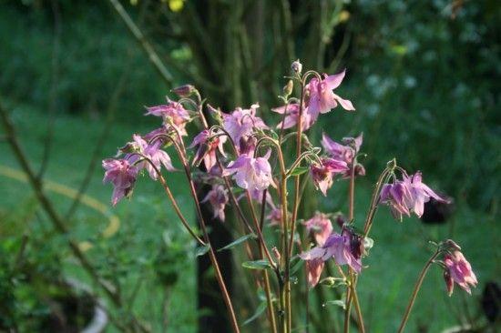 10 Aquilegia vulgaris (800x533)