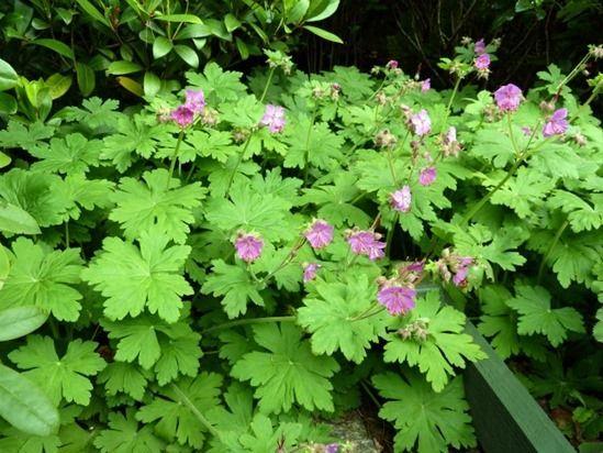 Geranium macrorrhizum 'Bevans Variety'