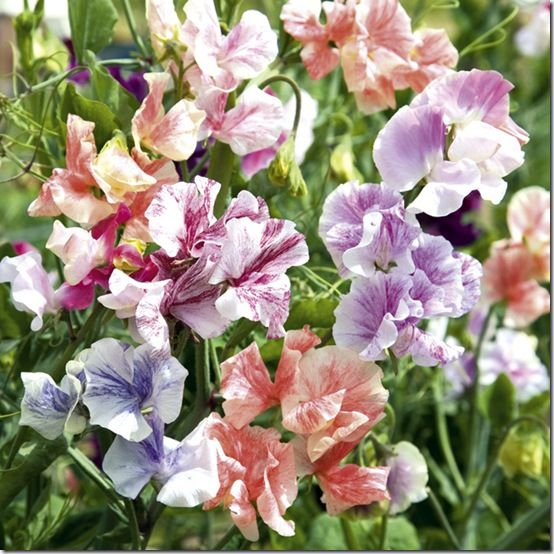 Sweet Pea 'True Fragrance'
