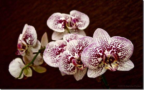 Phalaenopsis01_natalieparkerdotcom