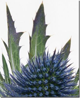 sea holly focus stacked part