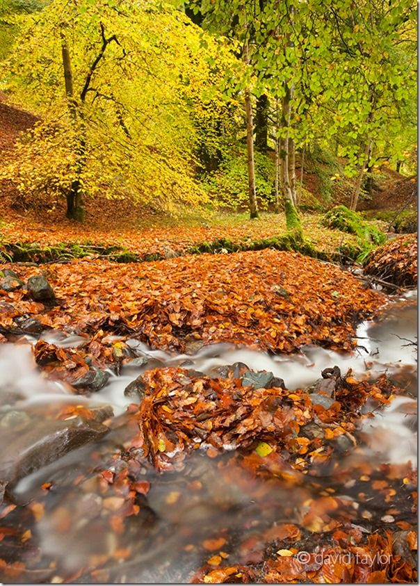 Autumn beech leaves around a stream near Bracklinn falls in the Trossachs region of the Scottish Highlands