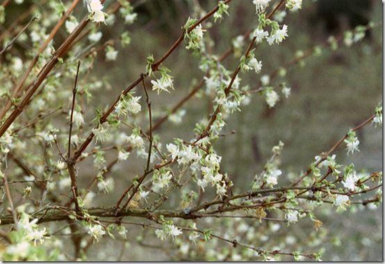 Lonicera purpusii 'Winter Beauty'