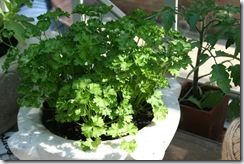 Pot of parsley