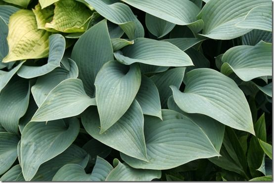 Hosta 'Hadspen Blue'