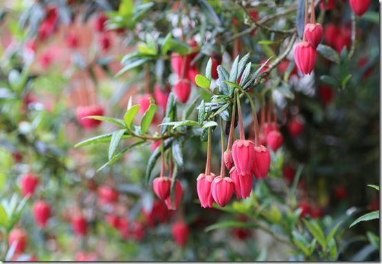 9 Crinodendron hookerianum