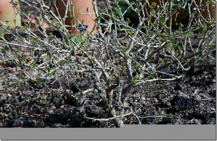 7 Gooseberry after pruning
