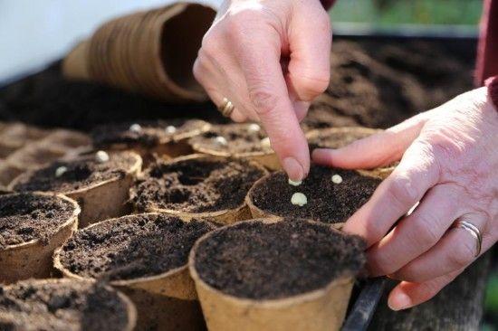 8 Sowing peas