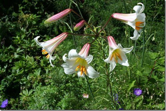 Lilium regale 2