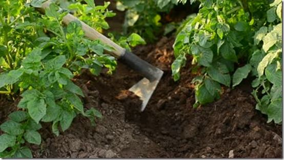 Howing Up Potatoes 1