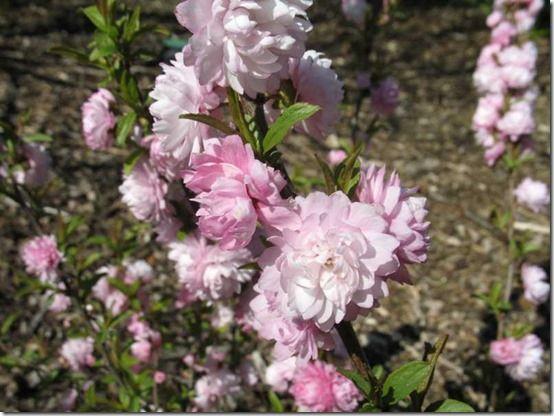 Prunus glandulosa 'Flore Plena'