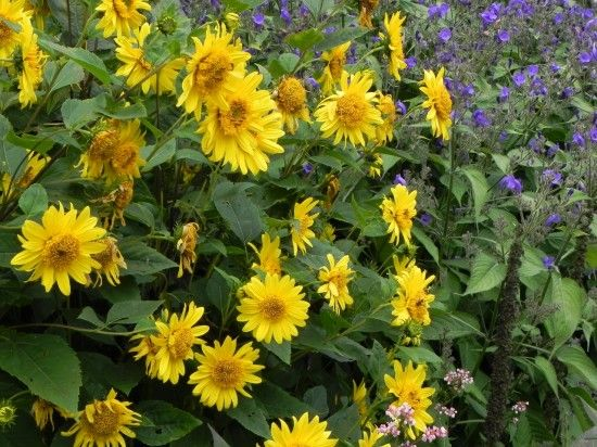 Perennial helianthus variety