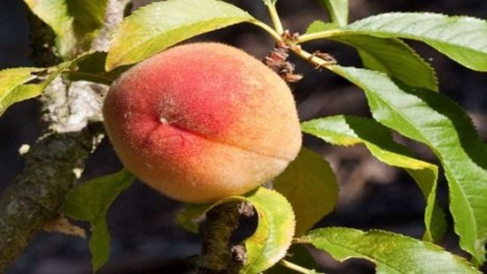 Peach, How To Grow Soft Fruit