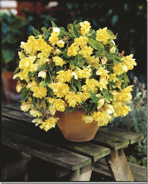 Begonia Yellow Hanging