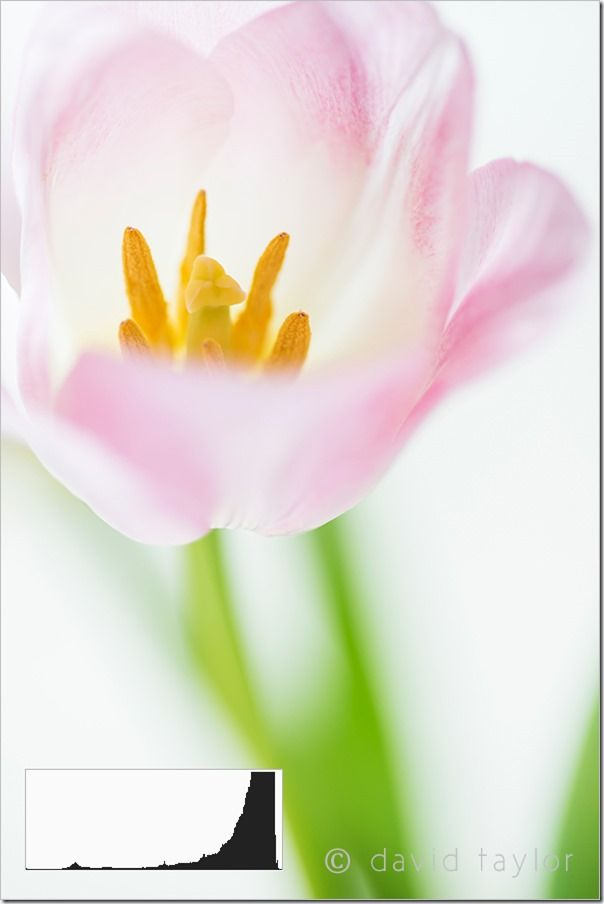 Pink and white tulip with out of focus background, high key, low key, photography, online photography courses, David Taylor, The 'sunny f/16' rule, exposure, tones, shadows, highlights,