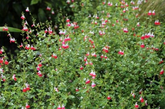 10 Salvia 'Hot Lips' (800x533)