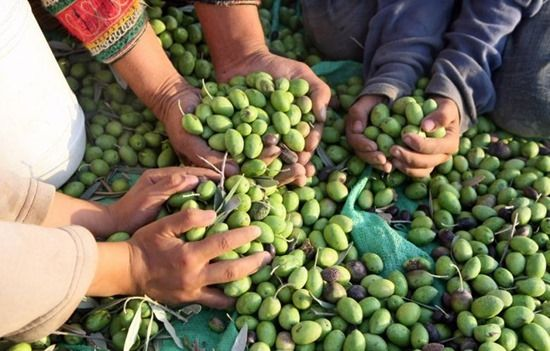 8 harvesting olives