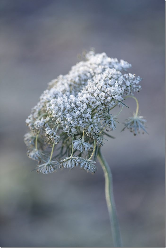 Umbellifer in frost
