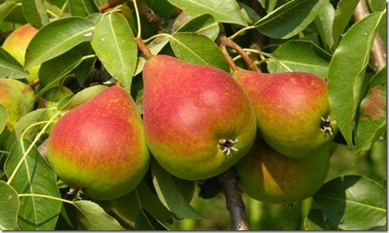 peartree, Fruit Tree Specification & Rootstocks Guide