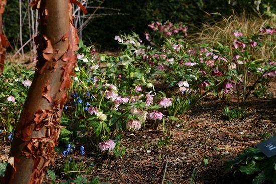 7  Helleborus under Acer griseum