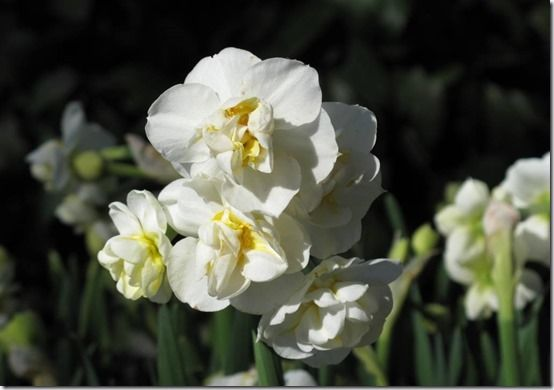10 Narcissus Cheerfulness