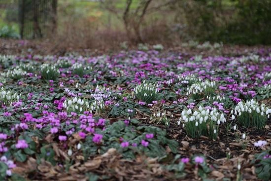 12 Snowdrops and cyclamen coum