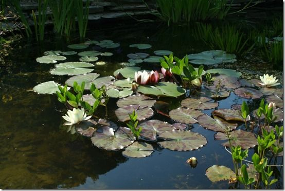 Nymphaea marlicea 'Chromatella'
