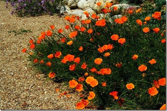 Eschschlolzia californica in gravel