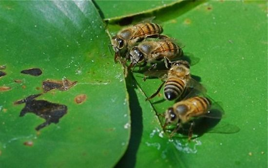 9 Honey bees drinking